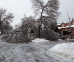 Ice Storm Downed Trees, Vaughan-23