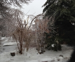 Ice Storm Downed Trees, Vaughan-42