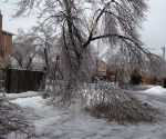 Ice Storm Downed Trees, Vaughan-71