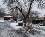 Ice Storm Downed Trees, Vaughan-77