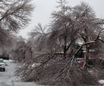 Ice Storm Downed Trees, Vaughan-22