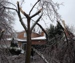 Ice Storm Downed Trees, Vaughan-25